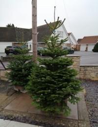 Christmas Trees - Traditional Nordman Fir